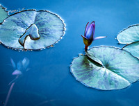 Water Lily_1