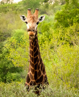 Giraffe with an oxpecker in his right nostril