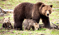 Grizzly Mother Bear & Cubs