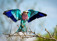 Lilac-breasted Roller_3