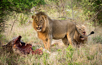 Lions with fresh kill