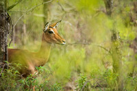 Impala in the bush