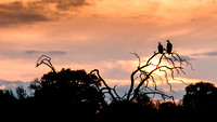 Pair of vultures awaiting dinner